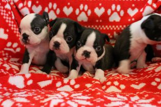 Gorgeous litter of kc registered boston terriers 5a60b68f2d3cd